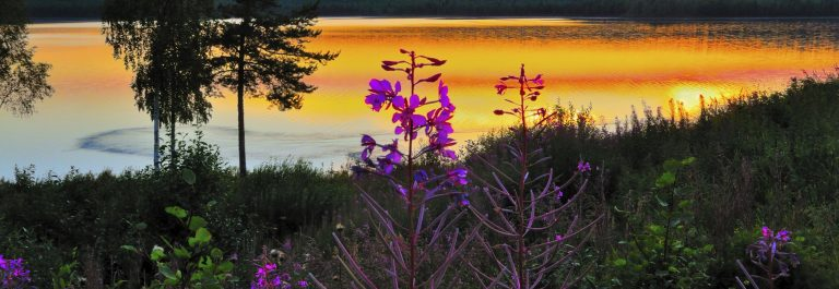 Night scene with fireweed Lapland Sweden iStock_000041906100_Large