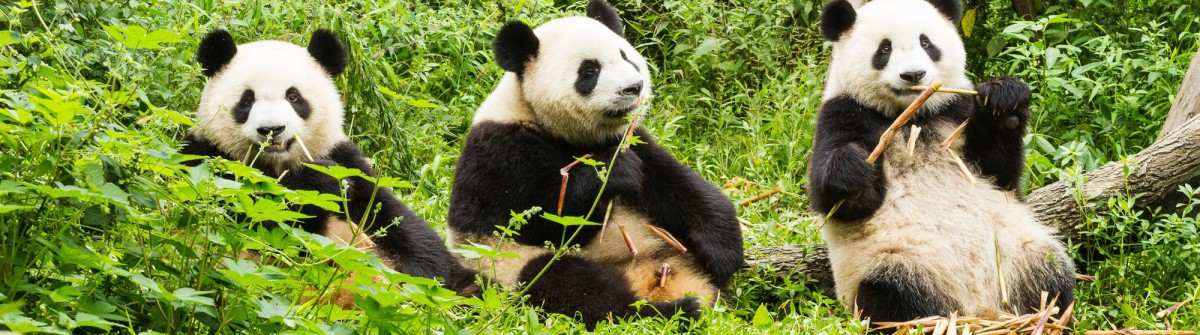 Panda_shutterstock_378926674