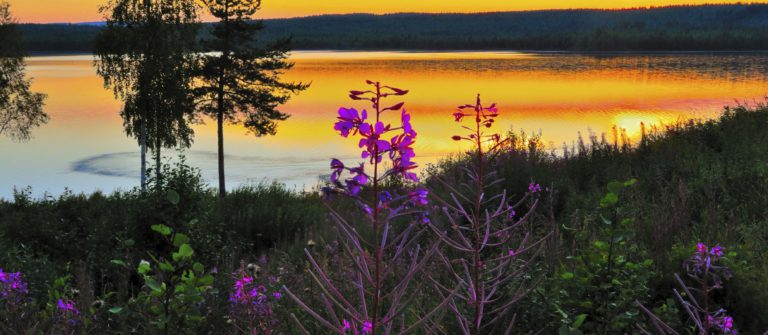 night-scene-with-fireweed-lapland-sweden-istock_000041906100_large