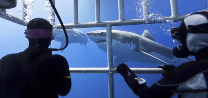 witte haai
