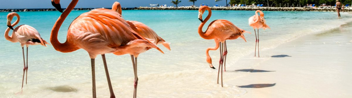 Flamingo's in Aruba