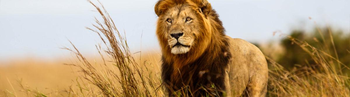 Mooie leeuw in het Zuid-Afrikaanse natuurreservaat Masai Mara
