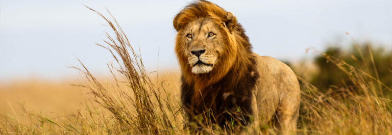 Beautiful Lion Caesar in the golden grass of Masai Mara