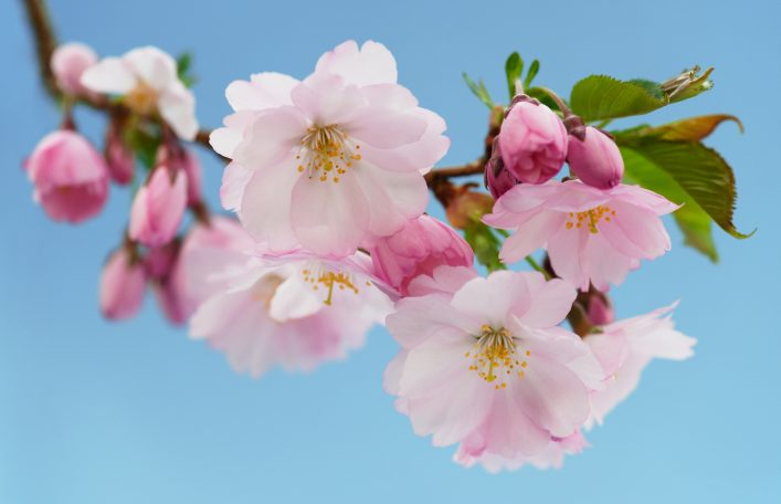 iStock-140010737 Japanische Kirsche (Sakura) in Blüte – Stockfoto