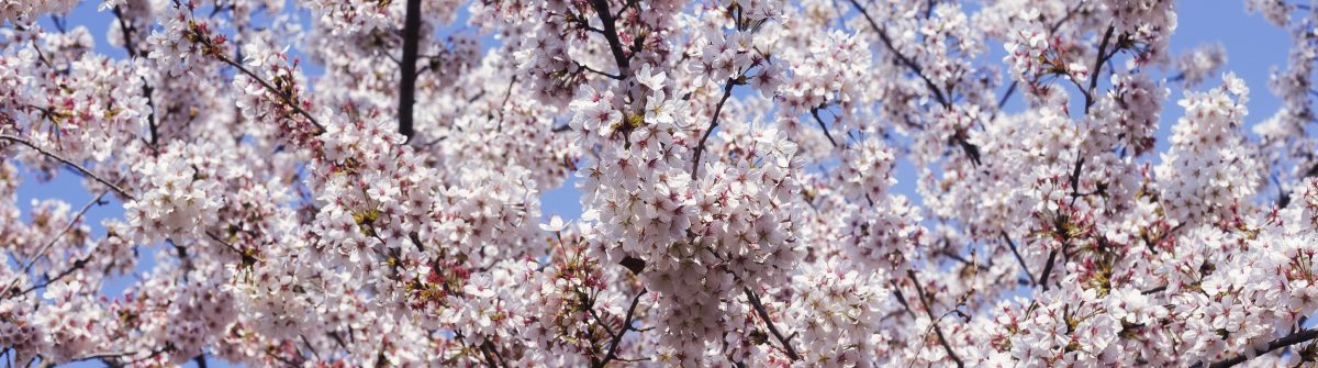 Cherry Blossom in blue sky