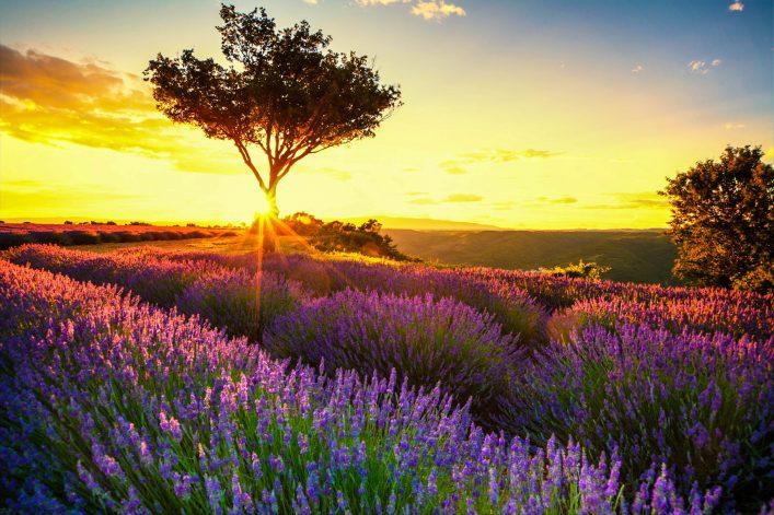 Lavendel in de Provence