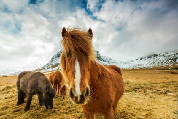 Paarden op IJsland