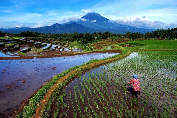 Rijstvelden van Indonesië