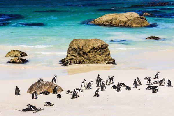 penguins in zuid-afrika