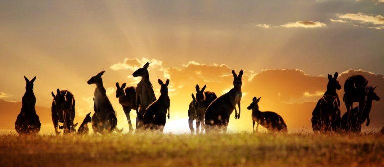 kangoeroes bij zonsondergang