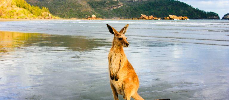 Kangaroo op het strand in Australië