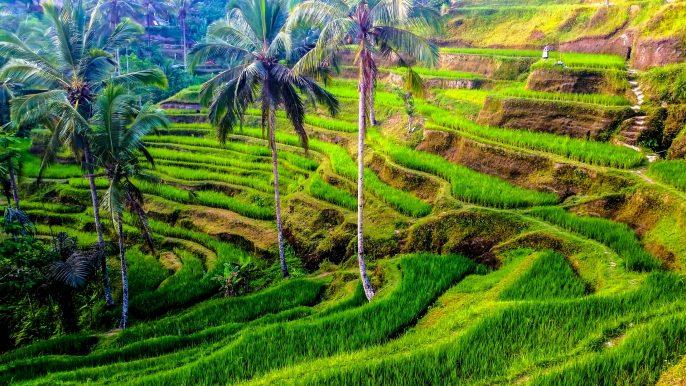 Rijstterrassen op Bali