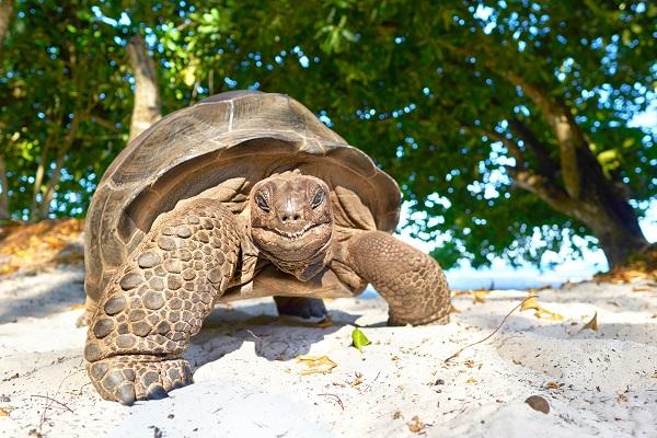 Een reuzenschildpad op de Seychellen