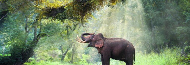 olifant in Thailand
