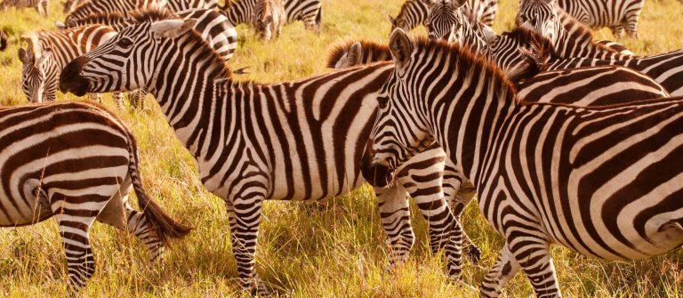 Safari in Kenia