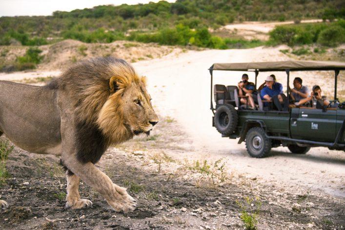 safari met leeuw