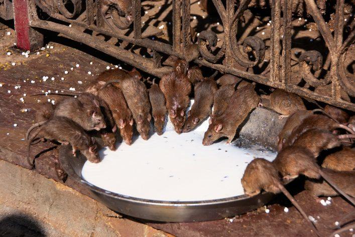Ratten drinken melk in de rattentempel