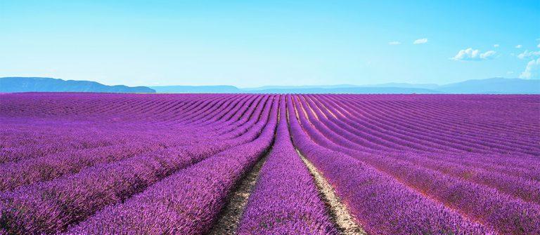 Lavendelvelden Provence