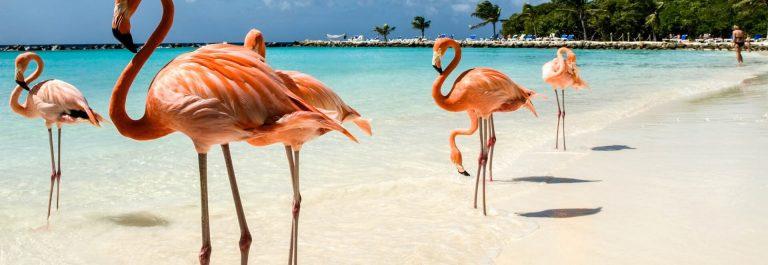 Flamingo's op het strand Aruba